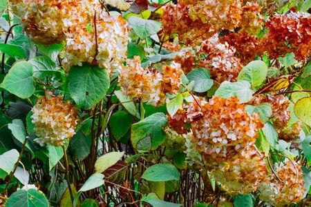 Brown and yellow flowers of Hydrangea in the autumn garden. Close up of dried orange flowers with green leaves.