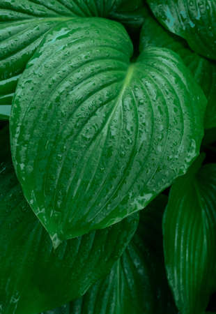 Green branch with raindrops on the leaves, tropical weather.