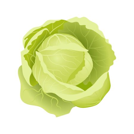 Juicy fresh cabbage, vector. Can be used for illustrations, design of various objects and on websites. Standard-Bild - 133067168