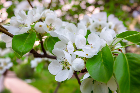 Branch of a pear tree with flowers spring white flowers stock branch of a pear tree with flowers spring white flowers stock photo 77762762 mightylinksfo