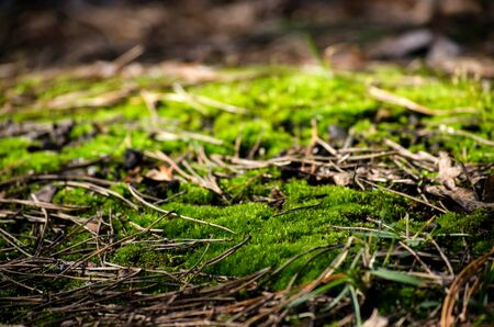 The background of green moss close-up of dry pine needles. Forest. Selective focus. Place for text. Stock Photo