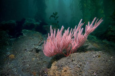 gorgonian sea fan: Pink Sea Fan a type of colonial Gorgonian soft coral