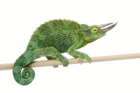 El camaleón de Jackson (Chamaeleo jacksonii) Foto de archivo - 83862627