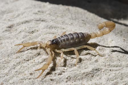 Desert Hairy Scorpion on sand Stok Fotoğraf