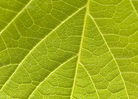 (1:1) Veins of a leaf in a garden Banco de Imagens - 84122755