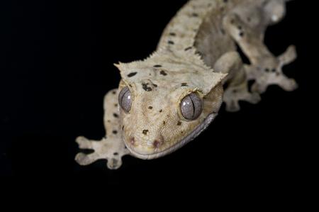 cold blooded: Rhacodactylus ciliatus Stock Photo