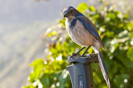(Computadora de mano) Un trípode occidental salvaje de Scrub-Jay (Aphelocoma californica) sentado en el parque estatal de Julia Pfeiffer Burns en California.