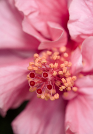 Hibiscus flower closeup Stock Photo