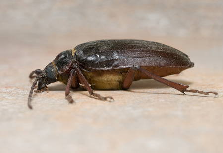 California prionus beetle (Prionus californicus) Male with conical antennae. Stock Photo