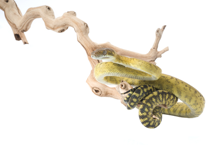 cold blooded: Moluccan Amethystine Python (Morelia amethistina) (male)