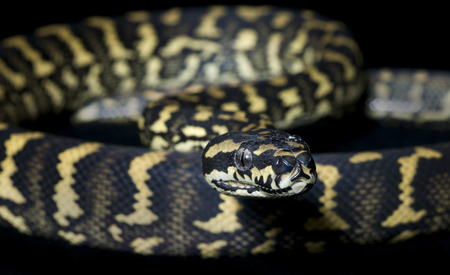 Jungle Carpet Python (Morelia spilota cheynei) 版權商用圖片