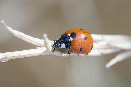 Ladybug (Coccinellidae) beetle Banco de Imagens