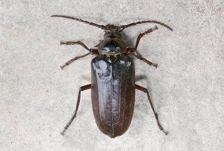 California prionus beetle (Prionus californicus) Male with conical antennae. Stock Photo