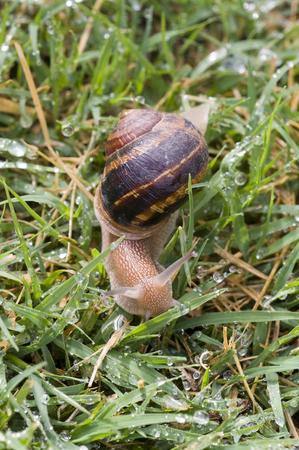 Snail moving on wet grass after rain Stock fotó