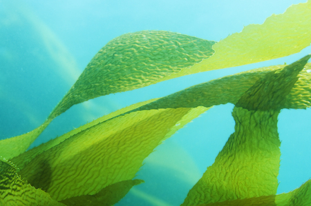 Giant Kelp (Macrocystis pyrifera) fronds / leaves in blue ocean Banque d'images