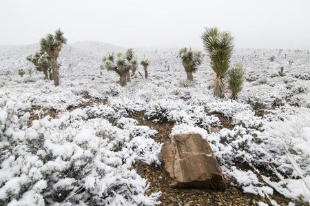デスバレー国立公園、カリフォルニア州の雪に覆われたジョシュア ツリー 写真素材