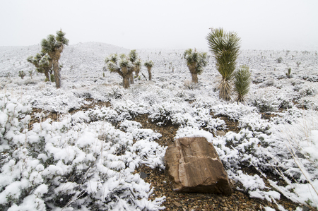 Snow-covered joshua trees in Death Valley National Park, California Banco de Imagens
