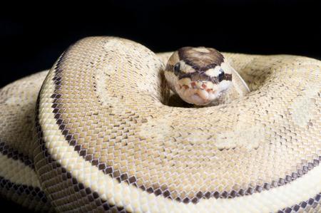 Super Stripe Ball Python (Python regius) Stock Photo