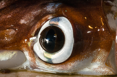Squid Eye close-up with visible Chromatophores Reklamní fotografie - 84116831