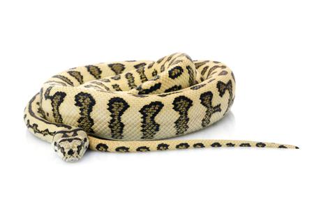 Jaguar Carpet Snake (Morelia spilota variegata)
