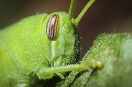 Closeup of grasshopper eye Stock Photo