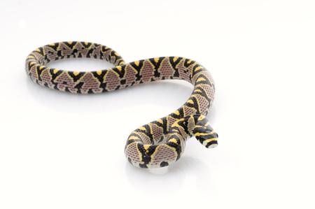 mandarina: Mandarin Rat Snake (Elaphe Mandarina) Stock Photo