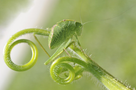 greater angle-wing katydid (Microcentrum rhombifolium) in late instar phase (juvenile) Stock Photo