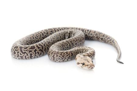 Granite Burmese Python (Python molurus bivittatus) (2.0 Albino Het) Stock Photo