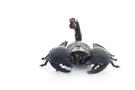 P. Imperator Emperor Scorpion Stock Photo
