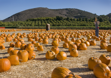 Pumpkin patch with scarecrow Stock Photo