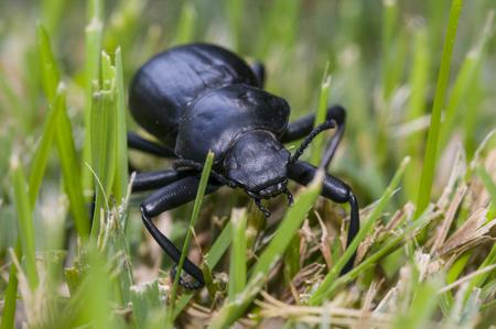 Pinacate beetle (aka Stink Beetle) Reklamní fotografie