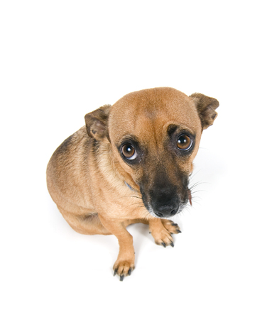 Guilty looking little dog Stock Photo