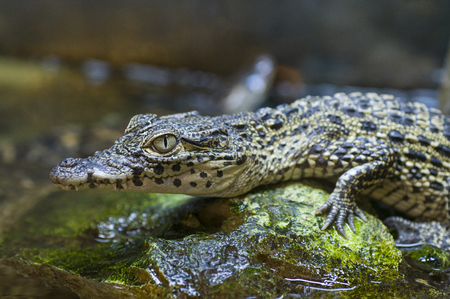 Captive baby nile crocodile (Crocodylus niloticus)