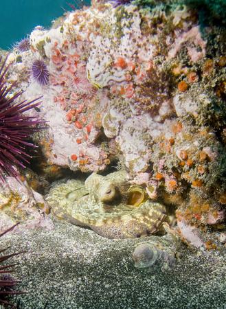 Octopus nestled under rock off Santa Barbara Island, CA