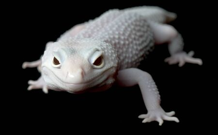 mack: Mack Blazing Blizzard Gecko (Female)