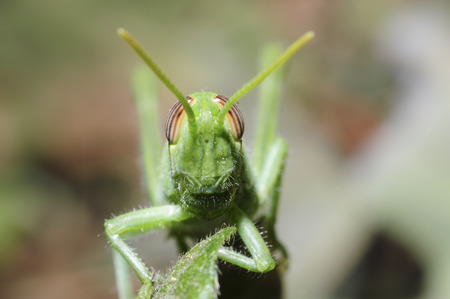frontal view of grasshopper
