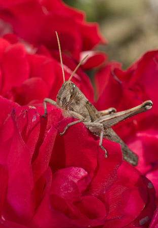 Grasshopper on garden rose