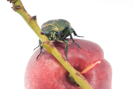 Mettalic green fig beetle (Cotinus texana) on apricot also called green fruit beetle, junebug, and figeater). Common to the southwestern United States. Stock Photo