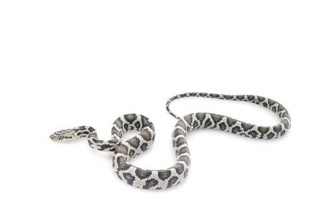 Anery Mexican Night Snake (Elaphe flavirufa)