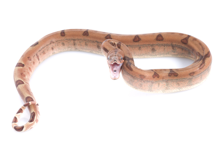 constrictor: Hypo Colombian Red Tail Boa (Boa constrictor constrictor)