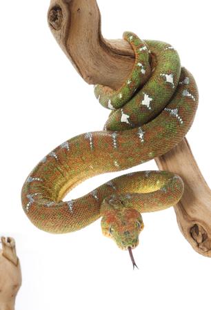 Emerald Tree Boa (Corallus caninus) (female) Stock Photo - 84203731