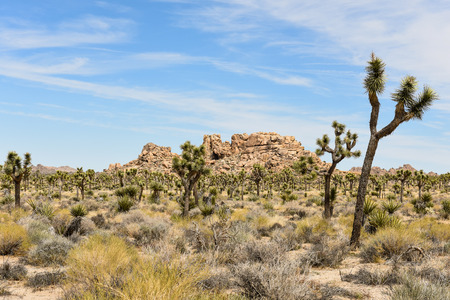 Joshua trees (Yucca brevifolia) on Boy Scout Trail in Joshua Tree National Park, California