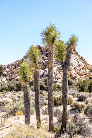 Joshua trees (Yucca brevifolia) in the Wonderland of Rocks area along Willow Hole Trail in Joshua Tree National Park, California