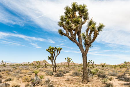 Joshua trees (Yucca brevifolia) along Boy Scout Trail in Joshua Tree National Park, California