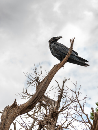 Crow in a tree off Devils Garden Trail in Arches National Park, Utah
