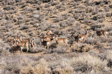 Herd of deer in wilderness near Bishop, California