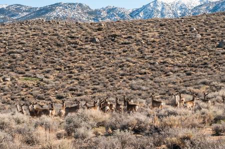 Herd of deer in wilderness near Bishop, California