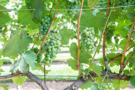 Bunches of green grapes on the vine in Solvang, California Stock Photo - 115492477