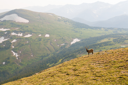 Buck seen from Trail Ridge Road to the alpine tundra in Rocky Mountain National Park, Colorado Stock Photo - 115492479