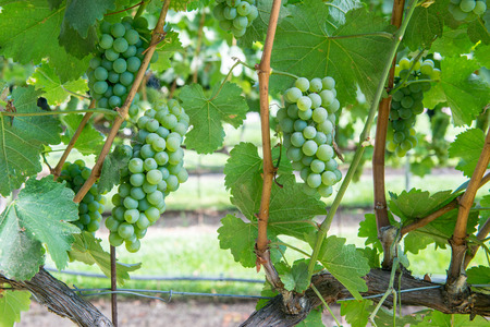 Bunches of green grapes on the vine in Solvang, California Stock Photo - 115492510